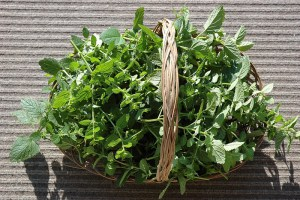 basket of lemon balm